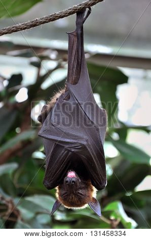 Bat with its tongue hanging out sleeping head down on a rope.