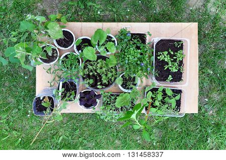 Seedlings of various plants in round and rectangular dish on a wooden table against the background of grass. View from above.