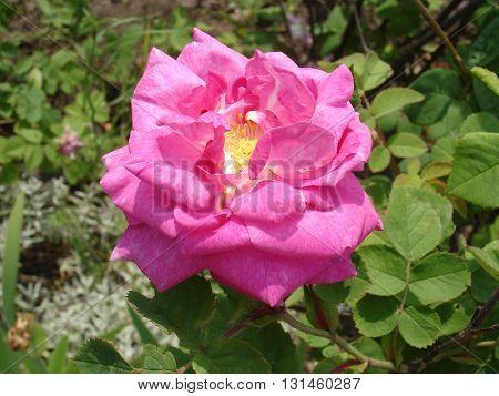 One rosa 'Pink Flower Carpet' flower  .