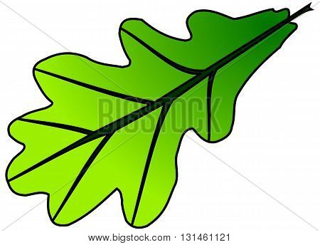 oak (Quercus robur), vector, isolated oak leaf