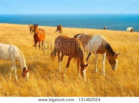 Herd of horses in Crimean prairie. Black sea on a background