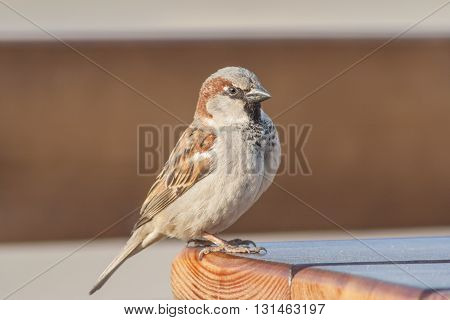 Sparrow sits not a wooden table in the park.