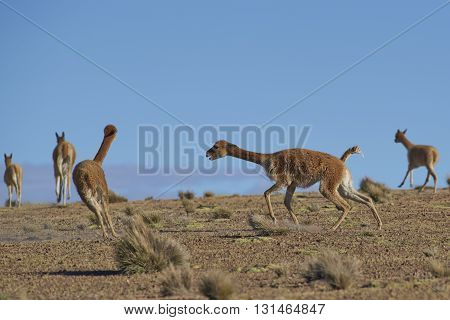 Male Vicuna (Vicugna vicugna) fighting in Lauca National Park, northern Chile