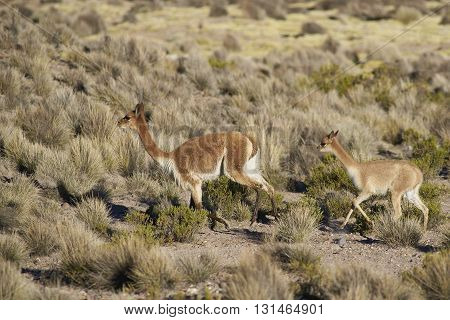 Adult and baby Vicuna (Vicugna vicugna) in Lauca National Park, northern Chile