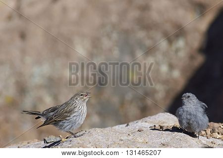 Female Plumbeous Sierra-Finch (Phrygilus unicolor) with chick, standing on a rock on the altiplano in Lauca National Park, northern Chile.