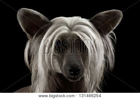 Closeup Portrait of Chinese Crested dog Looking in Camera in front of Isolated Black background
