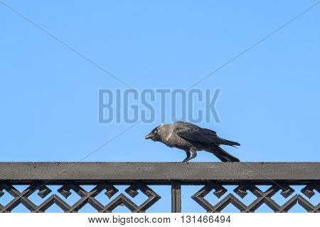 Jackdaw Sitting On The Fence And Ducked His Head.