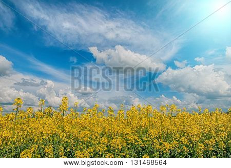 golden field of flowering rapeseed with beautiful clouds on sky