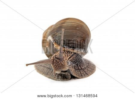 snail isolated on a white background. Close up