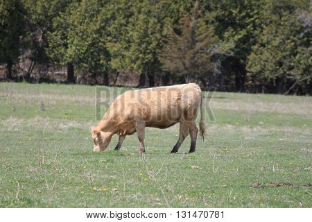 Cow standing in a large pasture of green grass in late spring