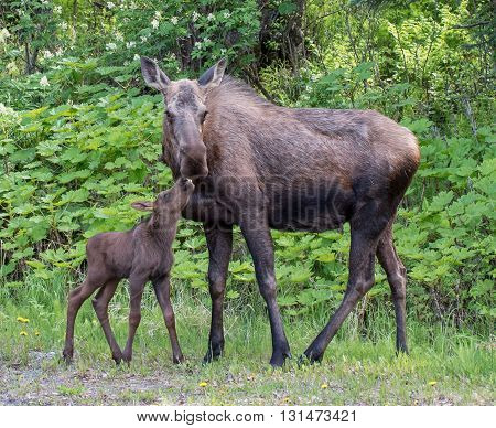 A cow moose and its calf share a moment