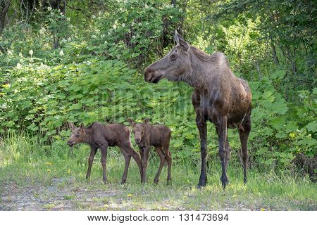Newborn twin moose calves standing with mom