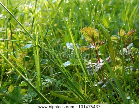 Fresh green grass in the spring morning dew
