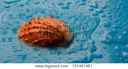round, big cockleshell, gold color, in water, in the rain, on a blue background