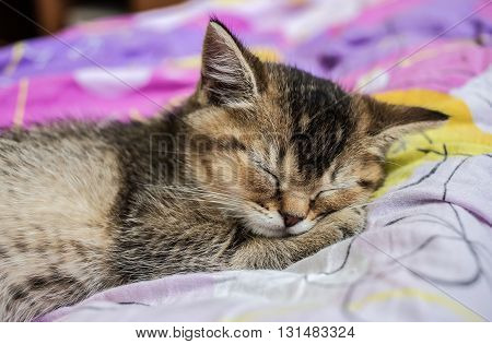small pretty kitten British golden chinchilla ticked sweetly sleeps on colorful bedsheet
