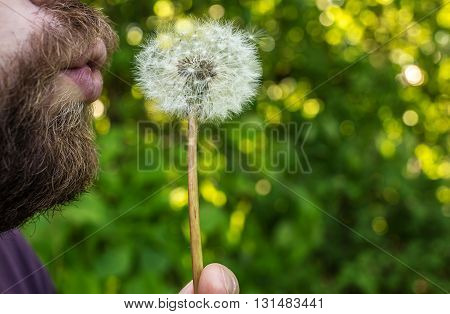 Man with the beard is blowing on dandelion close up on a background of luscious greenery