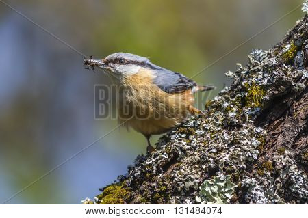 A nuthatch is sitting on a tree