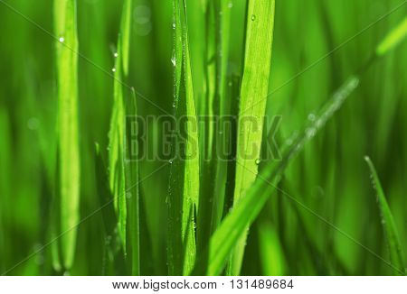 Wet grass after the rain, close up