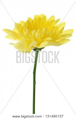 Yellow young flower on white background