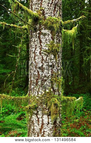 a picture of an exterior Pacific Northwest mossy Hemlock tree