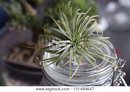 Air Plant Tillandsia on a glass jar