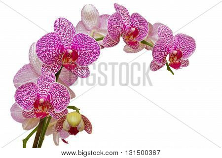 Beautiful pink orchid isolated on white background with clipping path