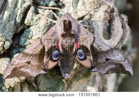 Eyed hawk-moth (Smerinthus ocellata) with hindwings visible. Hawk moth in the family Sphingidae showing startling defensive eyes on wings to deter predators