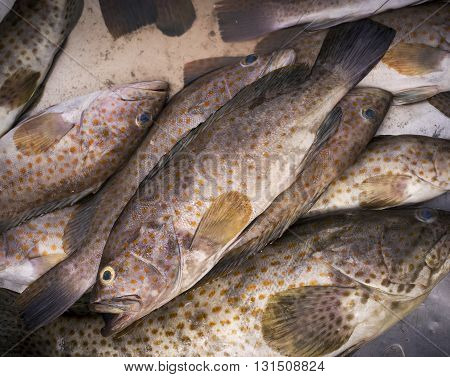 Fresh grouper fishs in the market Thailand.