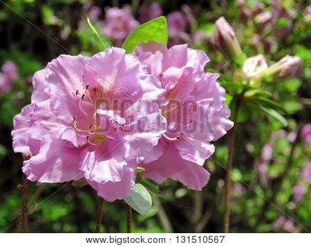 Pink Azalea flower in Mclean near Washington DC