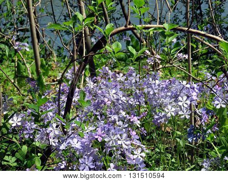 The Phlox divaricata flowers in forest on the banks of the Potomac River near Washington DC