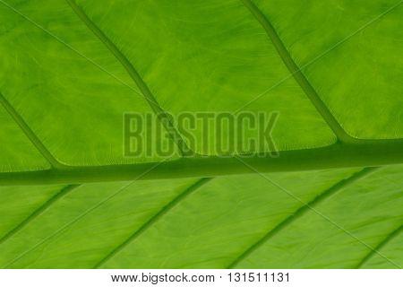 Close up of Elephant ear (Colocasia gigantea) Ear plant leaf