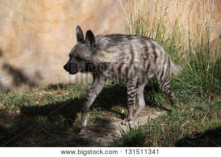 Striped hyena (Hyaena hyaena). Wild life animal.