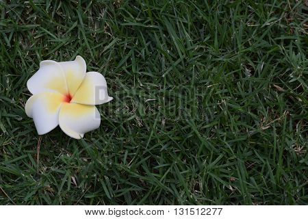 White frangipani fallen onto a patch of grass