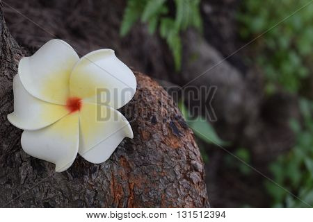 White Frangipani fallen onto a bark of the tree