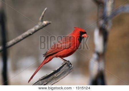 A Cardinal Potrait