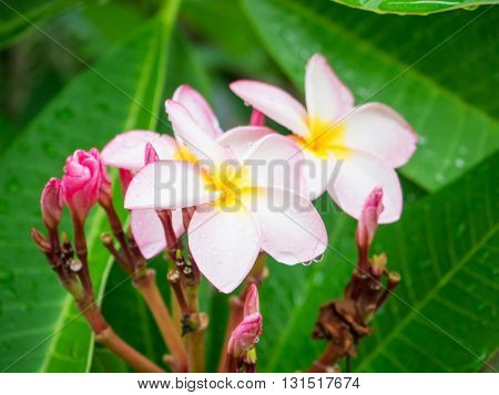 Pink Plumeria flower with rain drop on tree