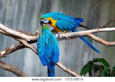 A loving couple of blue and yellow macaw