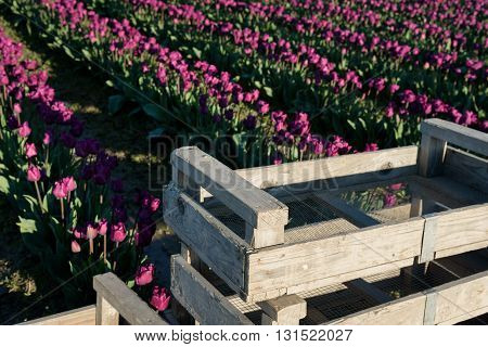 Getting ready to harvest purple tulips, wood boxes in from of rows of tulips