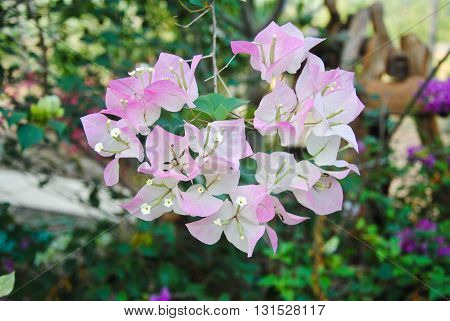 Bougainvillea paper flower in pink and white color