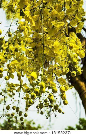 Cassia fistula National tree in the garden, Thailand