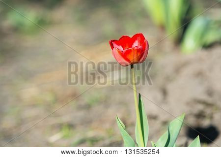 Red Tulip In The Garden On A Sunny Day