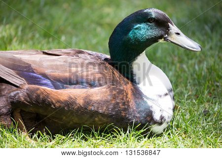 Bibbed Domestic Mallard - Anas platyrhynchos, male