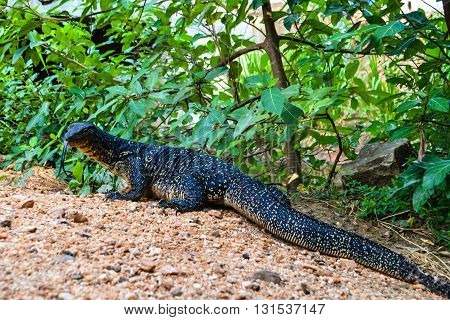 Travel in Sri Lanka. Wildlife on Ceylon - varan