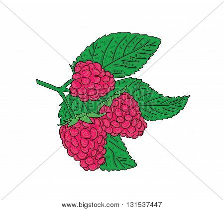 Hand drawn raspberry isolated on a pastel background