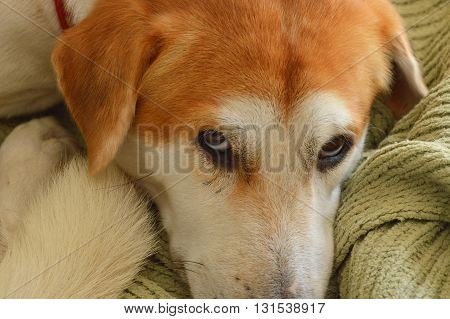 dog on cloth over floor in home