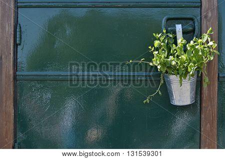 Mint plant in a tin pot hung on a door knob of a green shiny caravan door.