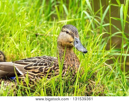 close up of female duck in fresh grass