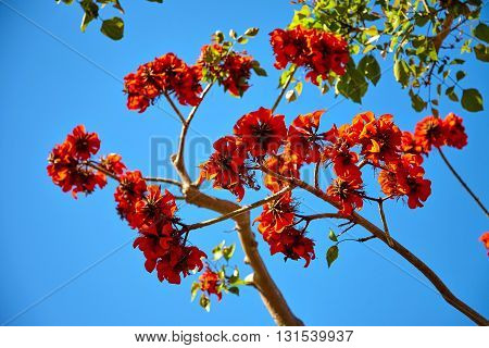 Beautiful flowers on tropical tree against the blue sky in Los Angeles