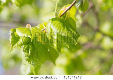 Light green leaves of a linden in the spring. Are lit with the sun a close up