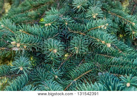Background from branches of a natural fur-tree. Blue spruce branches on a green background